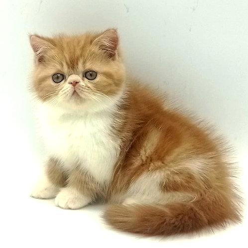 270 Augustin  Exotic  male kitten