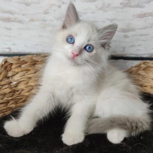 452 Leo  Ragdoll male kitten