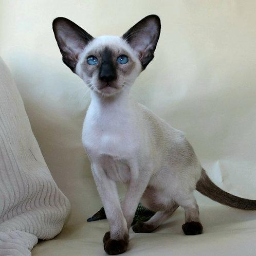 716 Mirabella  Siamo  Oriental female kitten