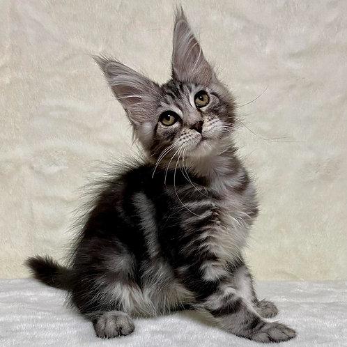 777  Simone  Maine Coon male kitten