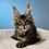 Thumbnail: 766 Tuchka  Maine Coon female kitten