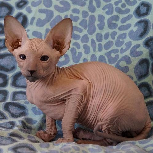 229 Bilbo   Peterbald male kitten