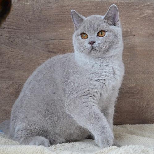 343 Greyboy     British shorthair male kitten