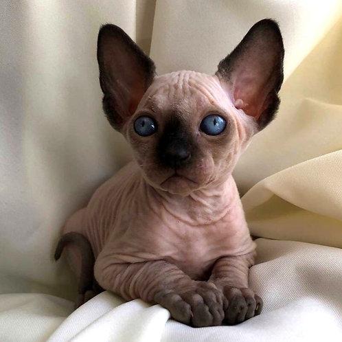 139 Brooke  male Sphinx kitten