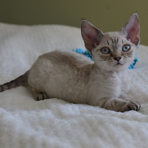 Rufina female kitten Devon Rex