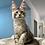Thumbnail: 807 Navarro  Maine Coon male kitten
