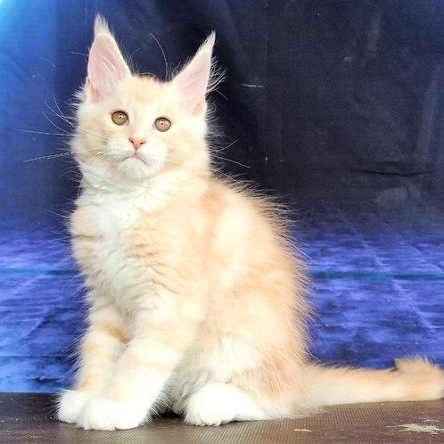 511 Quarz  Maine Coon male kitten