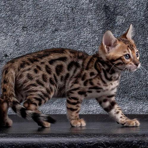58 Kiara  purebred Bengal female kitten
