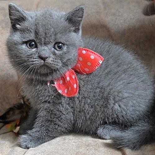 620 Yesenia  British shorthair female kitten