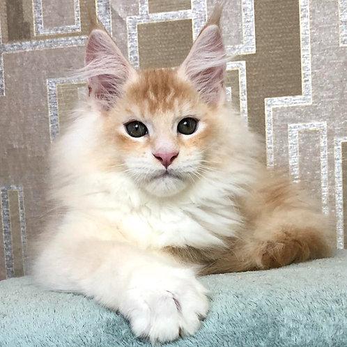 751 XSander Maine Coon male kitten