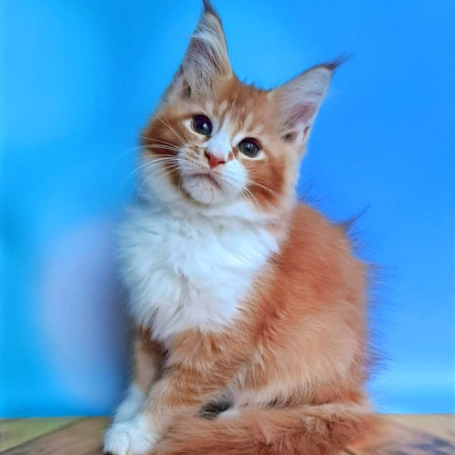 721 Markiz Maine Coon male kitten