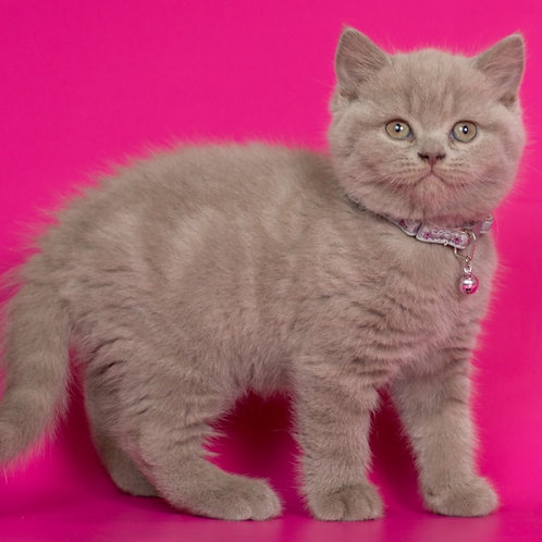 447 Fudge   British shorthair male kitten