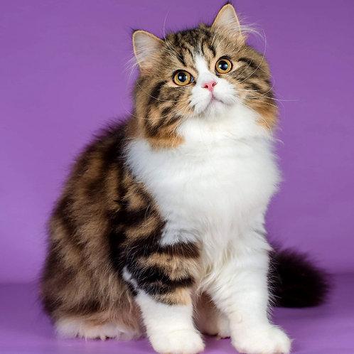 1183 Norman  Scottish straight longhair male kitten
