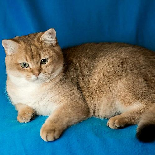 372 Humster   British shorthair male kitten
