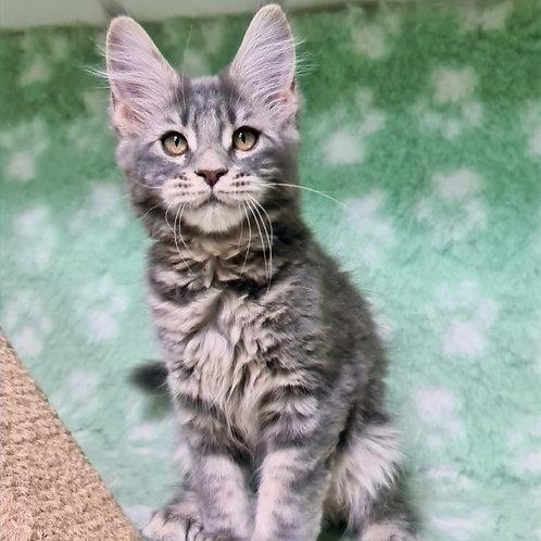 46 Beretta Maine Coon female kitten