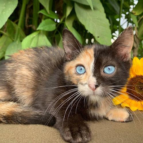 979 Mia  shorthair female kitten