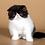 Thumbnail: 139 Yasu   Persian  male kitten