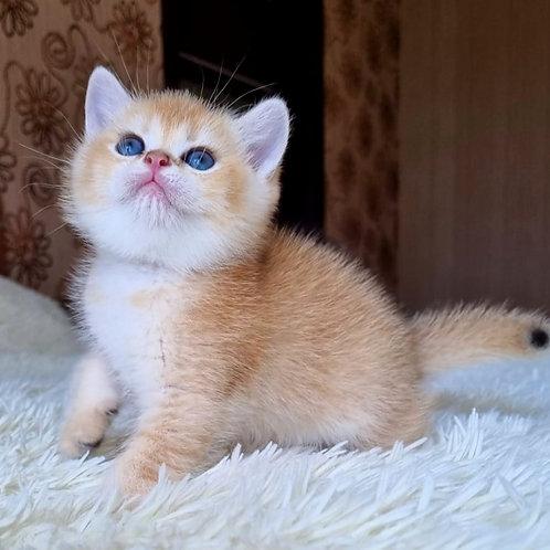 566 Vasilisa  British shorthair female kitten