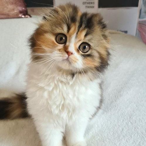 706 Jeneviewa   Scottish fold longhair female kitten