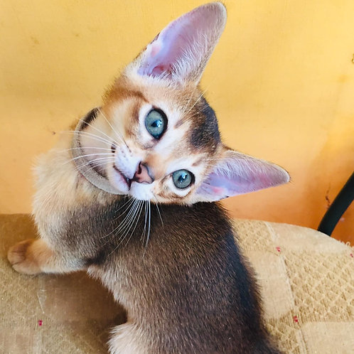 153 Flesh purebred Abyssinian male kitten