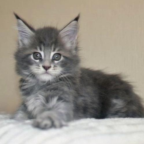 668 Leksa  Maine Coon female kitten