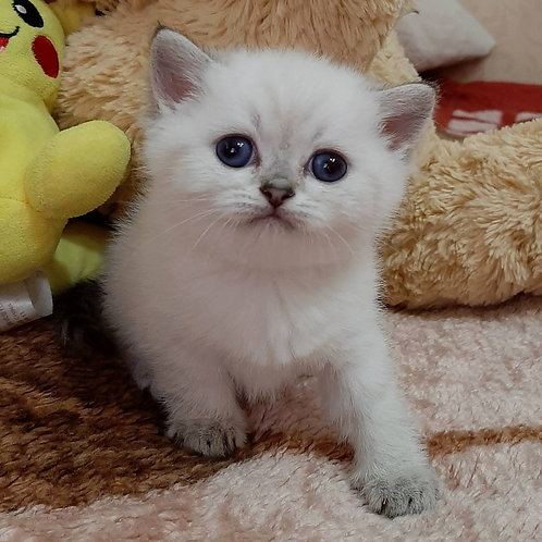 300 Kolobok    Scottish straight shorthair male kitten