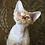 Thumbnail: 618 Orange  male kitten Devon Rex