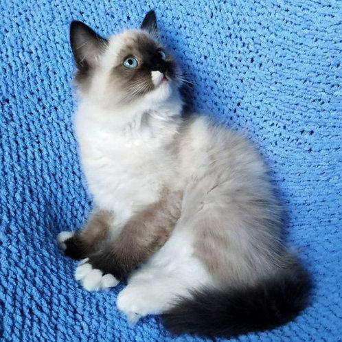 443 Oliver  Ragdoll male kitten