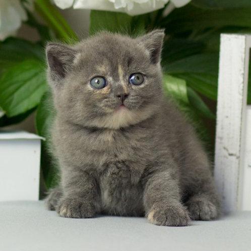 685 Dafna  British shorthair female kitten