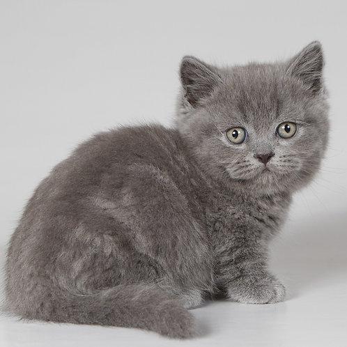 113 Joinn    Munchkin shorthair male kitten