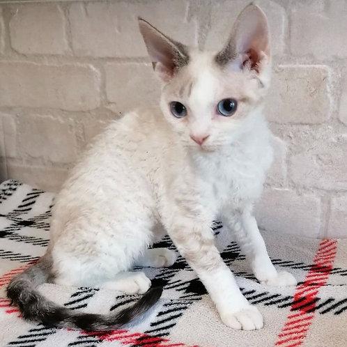 701 Nika  female kitten Devon Rex