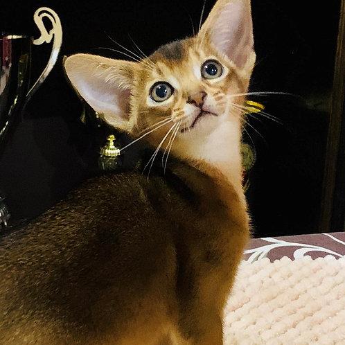 Muller purebred Abyssinian male kitten