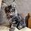 Thumbnail: 258 Absolom    Maine Coon male kitten