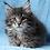 Thumbnail: 316 Odette  Maine Coon female kitten