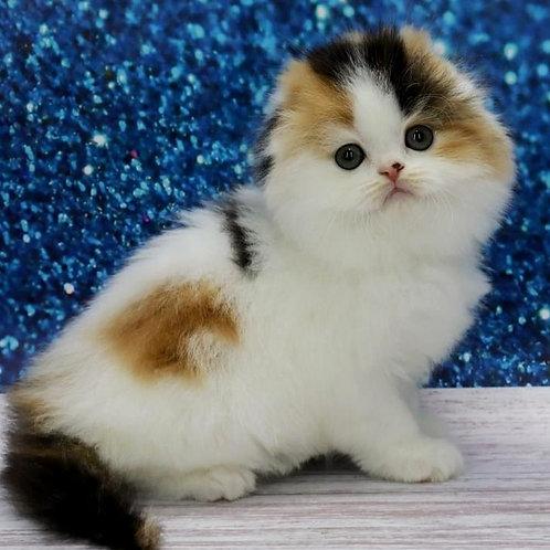467 Xiaomi      Scottish fold longhair female kitten