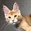 Thumbnail: 565 Velvet  Maine Coon male kitten