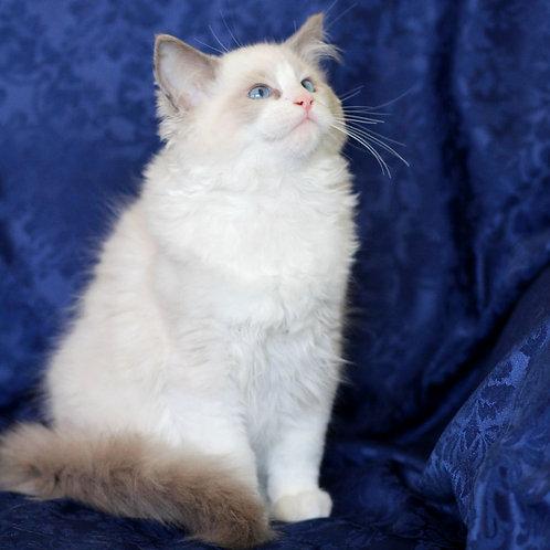 157 Bruno    Ragdoll male kitten