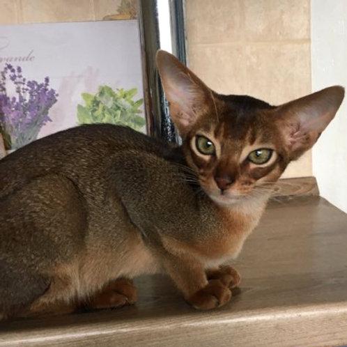 122 Nikita   purebred Abyssinian male kitten