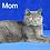 Thumbnail: 621 Yogurt  British shorthair male kitten