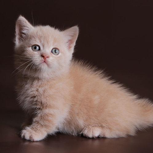 347 Smartik  Munchkin male kitten