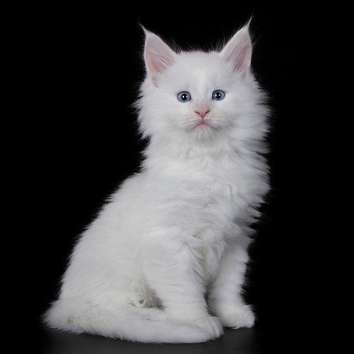 820 Raymond  Maine Coon male kitten