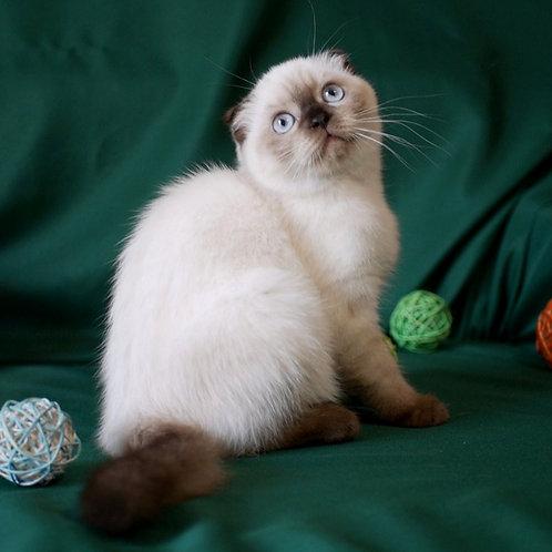 911 Genevieve  Scottish fold shorthair female kitten