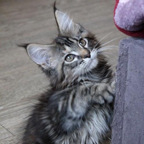 787 Karmelita   Maine Coon female kitten