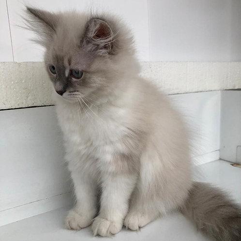 Isabella Siberian female kitten