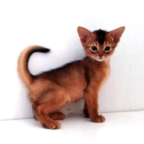185 Mongol  purebred Abyssinian male kitten