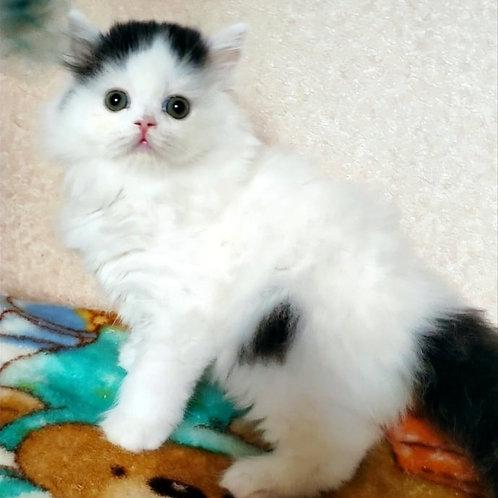 474 Urian      Scottish straight longhair male kitten