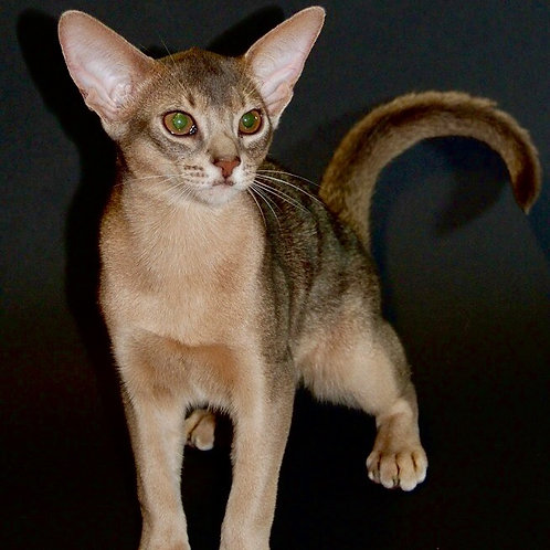 German purebred Abyssinian male kitten