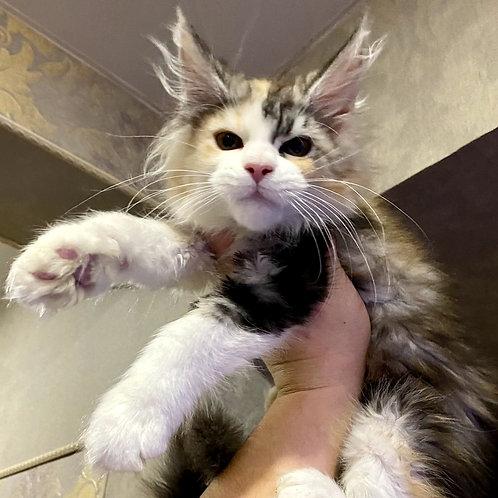 120 Nelly  Maine Coon female kitten