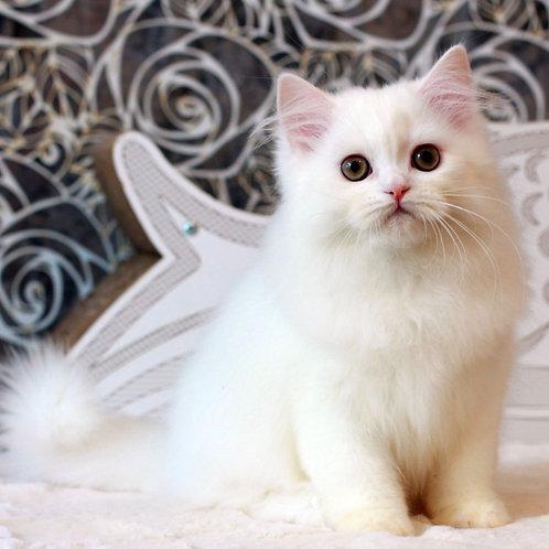 435 Edison Scottish straight longhair male kitten