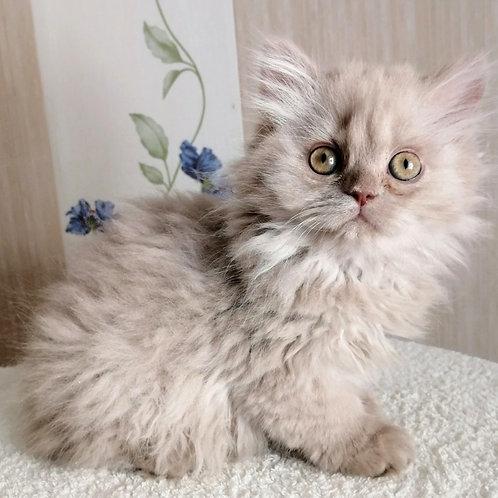 359 Quiana     Selkirk straight longhair female kitten